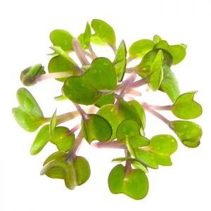 Pinkkaal oekologiske spirefroe dyrket til spirer FRISKE SPIRER