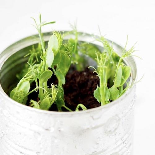 aerteskud dyrket i jord