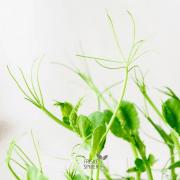Økologiske og friske ærteskud FRISKE SPIRER