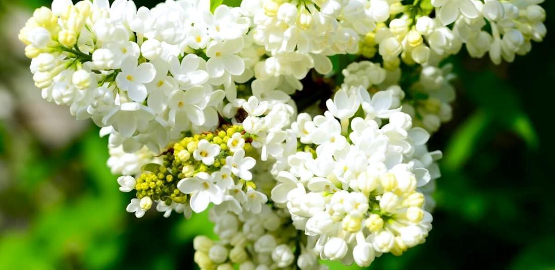 Syringa vulgaris syren spiselig blomst FRISKE SPIRER large