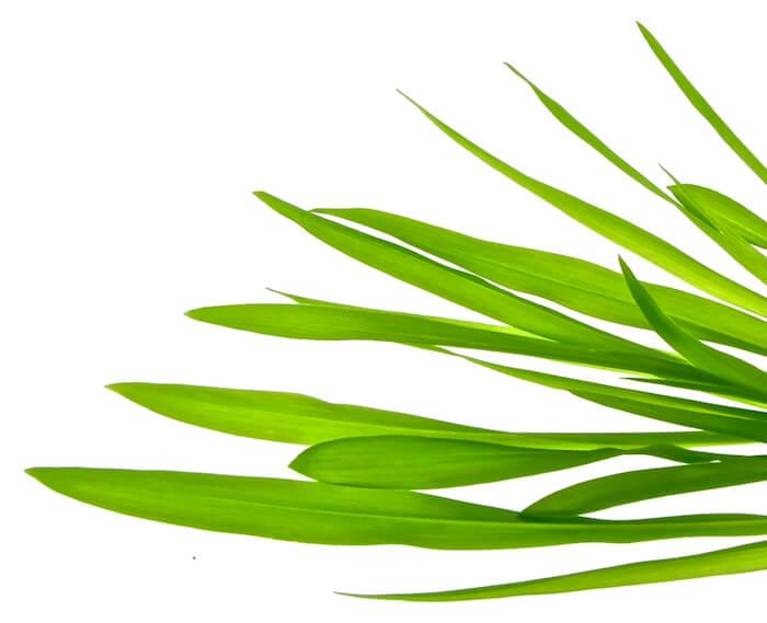 Økologiske majsspirer FRISKE SPIRER