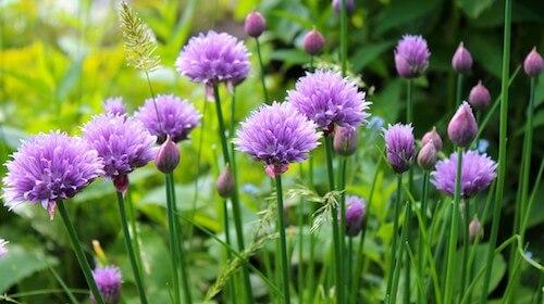 Allium tuberosum purløg spiselig blomst FRISKE SPIRER
