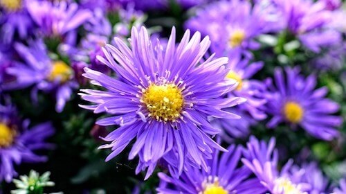 Asters spiselig blomst FRISKE SPIRER
