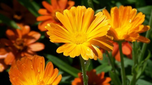 Calendula Morgenfrue spiselig blomst FRISKE SPIRER