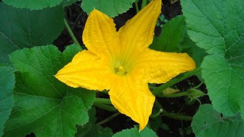 Courgetteblomst spiselig blomst FRISKE SPIRER