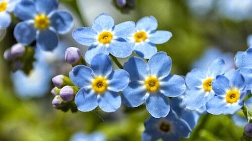 Forglemmigej spiselig blomst FRISKE SPIRER