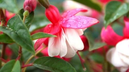 Fuschia spiselig blomst FRISKE SPIRER