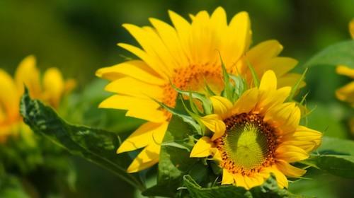 Helianthus annuus solsikke spiselig blomst FRISKE SPIRER