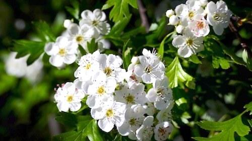 Hvidtjørn spiselig blomst FRISKE SPIRER
