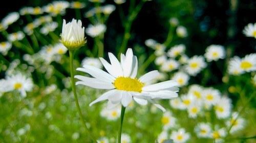 Kamille spiselig blomst FRISKE SPIRER