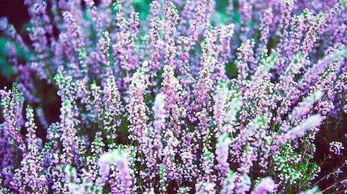 Lavendel spiselig blomst FRISKE SPIRER