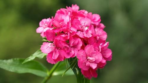 Nellike spiselig blomst FRISKE SPIRER