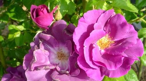 Rosa rugosa Hybenrose spiselig blomst FRISKE SPIRER