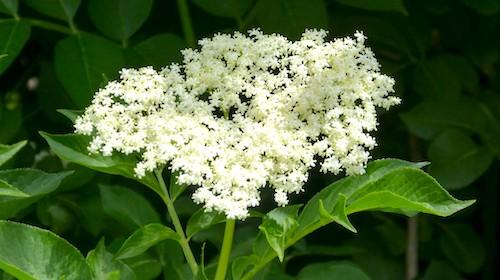 Sambucus hyldeblomst spiselig blomst FRISKE SPIRER