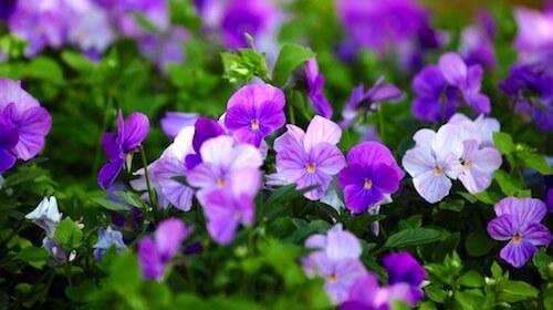 Stedmoderblomst viol spiselig blomst FRISKE SPIRER
