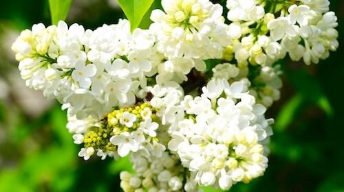 Syringa vulgaris syren spiselig blomst FRISKE SPIRER