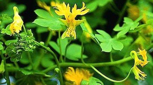 Tropaeolum peregrinum sommerfuglekarse spiselig blomst FRISKE SPIRER