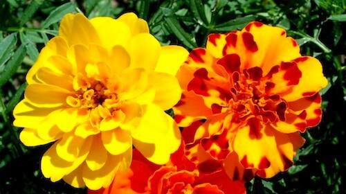 Marigold tagetes spiselig blomst FRISKE SPIRER