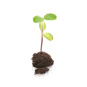 Økologisk solsikkeplante i jord
