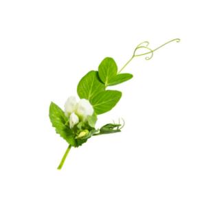 oekologiske havefroe aert i blomst