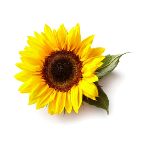 spiselig solsikke af oekologiske havefroe