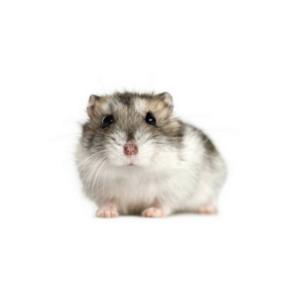 spirer til hamster
